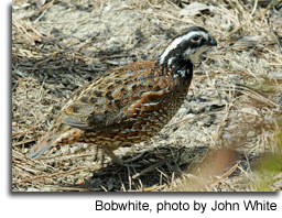 Bobwhite, photo by John White