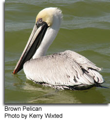 Brown Pelican, Photo by Kerry Wixted Pelicans