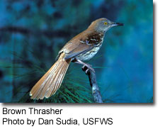 BrownThrasher_DanSuBrown Thrasher, photo by Dan Sudia, USFWSda.jpg