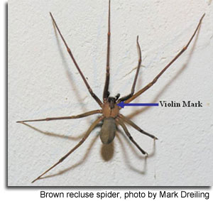 Brown recluse spider, photo by Mark Dreiling