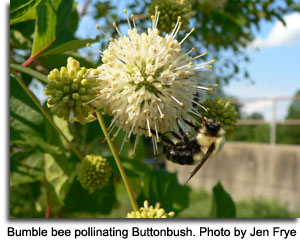 Bumble bee pollinating Buttonbush, photo by Jen Frye