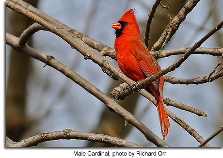 Male cardinal, photo by Richard Orr
