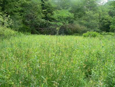 Typical Baltimore checkerspot habitat by Jen Frye