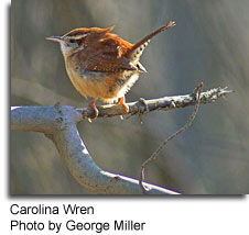 Carolina Wren, photo by George Miller
