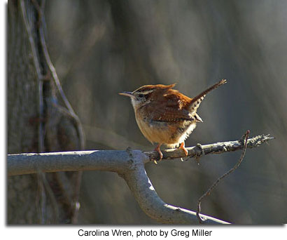 Carolina Wren, photo by Greg Miller