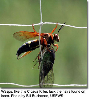 Cicada Killer Wasp, photo by Bill Buchanan, USFWS