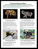 Common Bees of Maryland