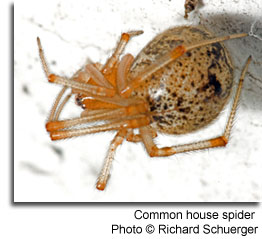 Common house spider Photo © Richard Schuerger