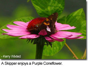 A Skipper enjoys Purple Coneflower - Photo by Kerry Wixted