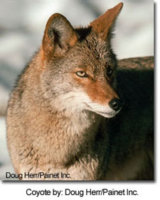 Coyote by: Doug Herr/Painet Inc.