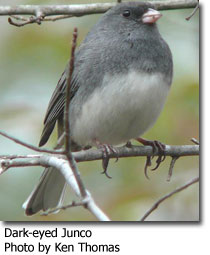 Dark-eyedJunco.jpg