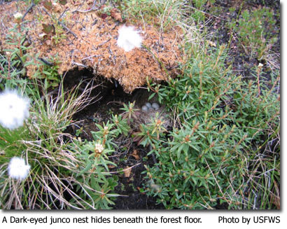 A Dark-eyed Junco nest hides among the forest floor Photo by USFWS