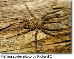 Fishing spider, photo by Richard Orr