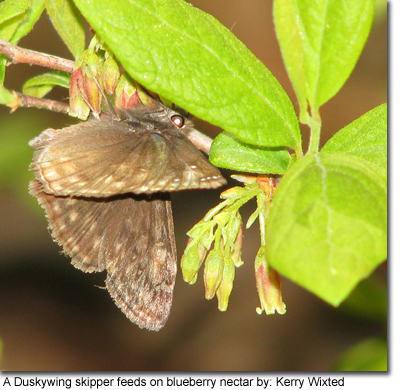 A duskywing skipper feeds on blueberry nectar by: Kerry Wixted