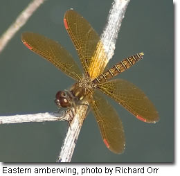 Eastern amberwing, photo by Richard Orr