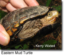 Photo of mud turtle courtesy of Kerry Wixted