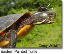 Photo of Eastern Painted Turtle courtesy of Corey Wickliffe