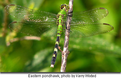Eastern Pondhawk by Kerry Wixted