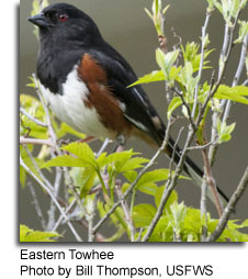 Eastern Towhee, photo by Bill Thompson, USFWS