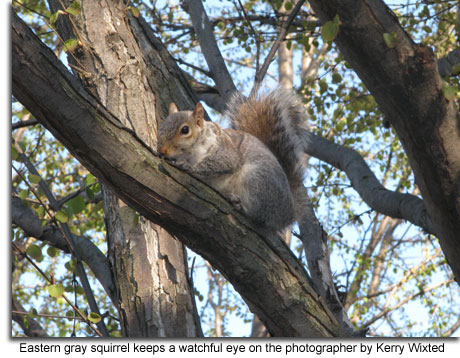 Eastern_Gray_Squirrel.jpg