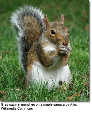 Gray squirrel munches on a maple samara by A.jo, Wikimedia Commons