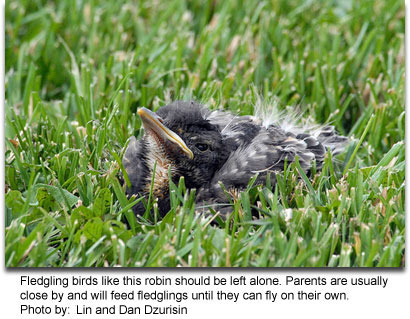 Fledgling robin, photo by Lin and Dan Dzurisin