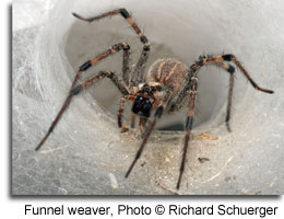 Funnel weaver, Photo © Richard Schuerger