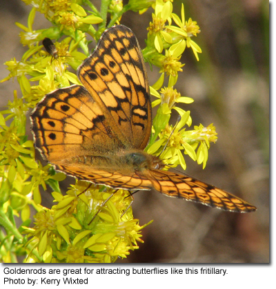 Goldenrods are great for attracting butterflies like this fritillary. Photo by: Kerry Wixted
