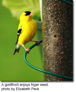 A goldfinch enjoys Nyjer seed, photo by Elizabeth Peck