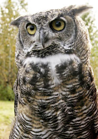 Great-Horned Owl, photo by Ronald Laubenstein, USFWS