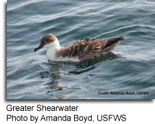 Greater Shearwater, photo by Amanda Boyd, USFWS