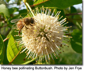 Honey bee pollinating Buttonbush, photo by Jen Frye
