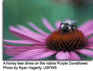 Honey bee on Purple Coneflower, photo by Ryan Hagerty, USFWS