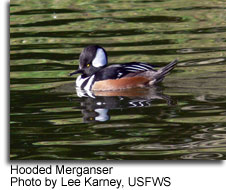 Hooded Merganser, photo by Lee Karney, USFWS