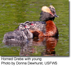 Horned Grebe with young, photo by Donna Dewhurst, USFWS