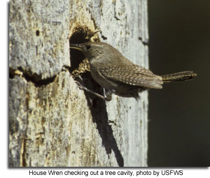 House wren checking out a tree cavity by USFWS