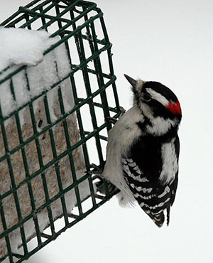 Downy woodpeckers will regularly visit suet feeders in the winter by Dawn Huczek, Wikimedia Commons