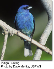 Indigo Bunting, photo by Dave Menke, USFWS