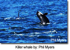 Killer whale by: Phil Myers