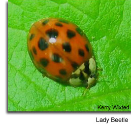 Lady Beetle photo by Kerry Wixted