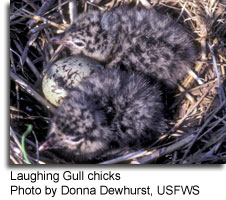 Laughing Gull chicks, photo by Donna Dewhurst, USFWS