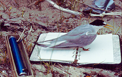 Least Tern Adult Taking Notes, photo by Dave Brinker