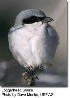 Loggerhead Shrike, photo by Dave Menke, USFWS
