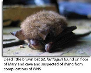 Carcass of Little Brown Bat found on floor of Maryland Cave