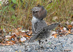 Male grouse on display, photo by Rick Arsenault, Wikimedia Commons