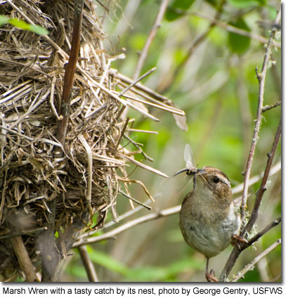 Marsh Wren with a tasty catch by its nest, photo by George Gentry, USFWS
