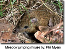 Meadow jumping mouse by: Phil Myers