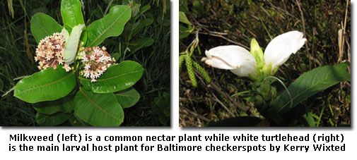 Milkweed (left) is a common nectar plant while white turtlehead (right) is the main larval host plant for Baltimore checkerspots by Kerry Wixted