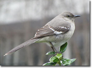 Mocking Bird, courtesy of Universal Pops flickr