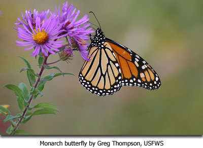 Monarch butterfly by Greg Thompson, USFWS